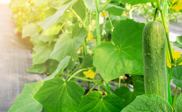 Planta de pepino jovem crescer em estufa