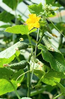 Planta de pepino jovem em estufa