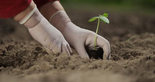 Planta de pepino plantando vegetais, fazenda, mãos de negócios de um fazendeiro enquanto plantava uma planta em uma horta conceito de agricultura ecológica