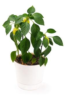 Planta de pimenta em uma panela isolada em um branco