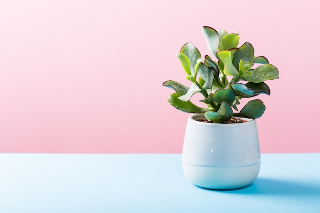 Planta de planta suculenta em vaso de cerâmica cinza