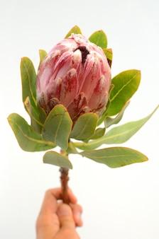 Planta de protea rei vermelho sobre fundo branco