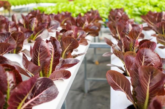 Planta de salada de alface com folhas vermelhas orgânicas frescas em sistema agrícola de hortaliças hidropônicas