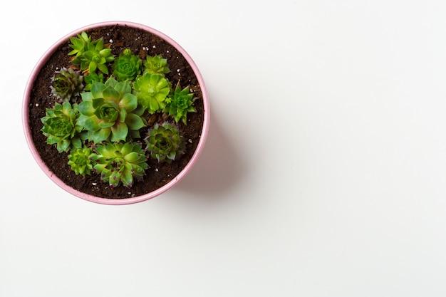 Planta de suculentas em vaso branco