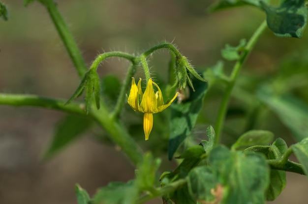Planta de tomate fresco na fazenda orgânica