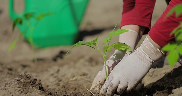 Planta de tomate plantando legumes nas mãos de um fazendeiro enquanto planta uma planta em uma horta agricultura início da temporada de plantio