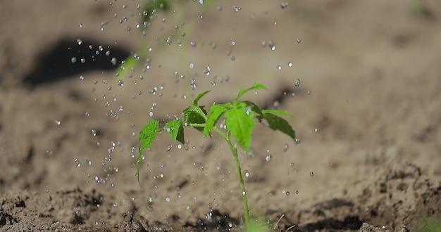 Planta de tomate plantando legumes negócios agrícolas regando uma planta de tomate cultivando legumes e grãos em solo fértil para uma dieta saudável