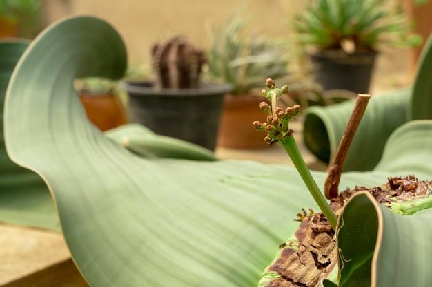 Planta de welwitschia mirabilis