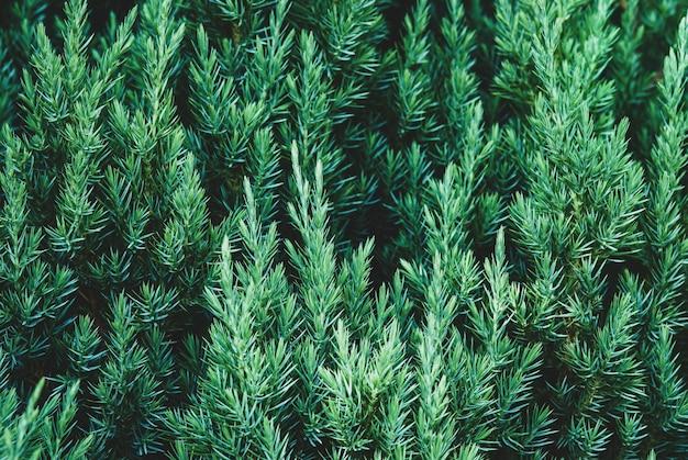 Planta de zimbro como fundo de textura botânica conífera