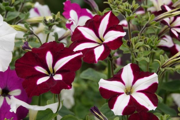 Planta do petúnia com flores lilás. flores do petúnia do close up. flores roxas de petúnia.