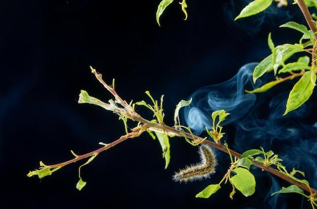 Planta doente primavera em um escuro com gotas. ramo de ameixa com pragas. em um galho de lagarta de ameixa e ácaros.