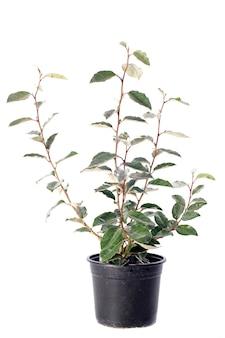 Planta eleagnus isolada