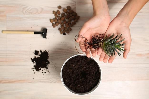 Planta em casa, planta suculenta haworthia, close-up nas mãos, flora para plantar em um vaso