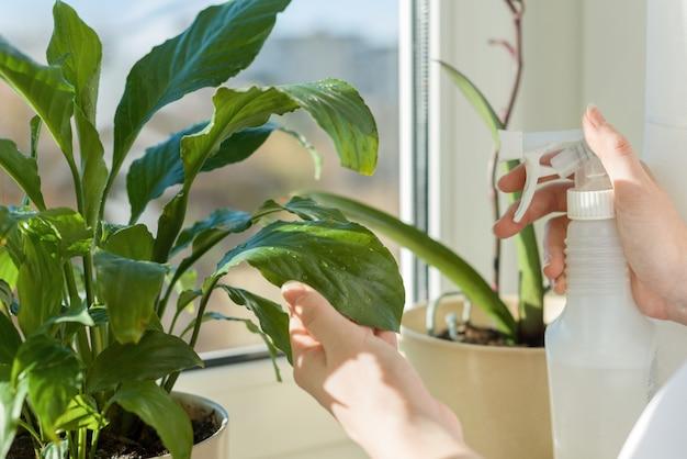 Planta em panela no peitoril da janela e mãos mulher com spray
