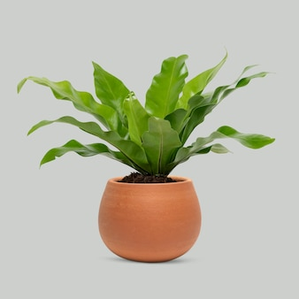 Planta em um vaso de terracota planta ninho de pássaros samambaia