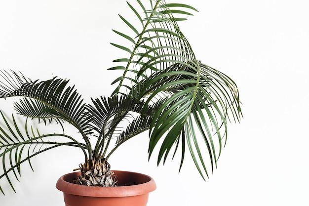 Planta em vaso cycas contra uma parede branca mock up.