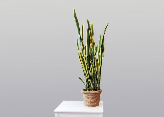 Planta em vaso sansevieria em um fundo cinza decoração para casa cópia espaço decoração em estilo parente