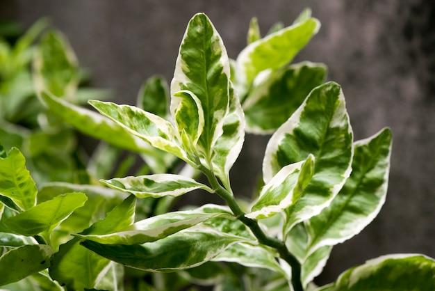Planta em zigue-zague ou euphorbia tithymaloides ramifica folhas verdes sobre fundo natural.