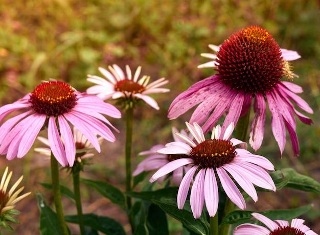 Planta erval echinacea purpurea.