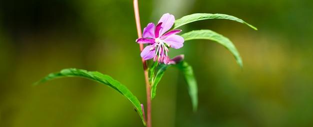 Planta fireweed epilobium angustifolium em flor. flores lilases da planta de chá chamaenerion no verão