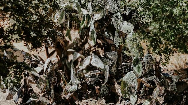 Planta grande cacto opuntia ficus-indica doente após peste cochonilha