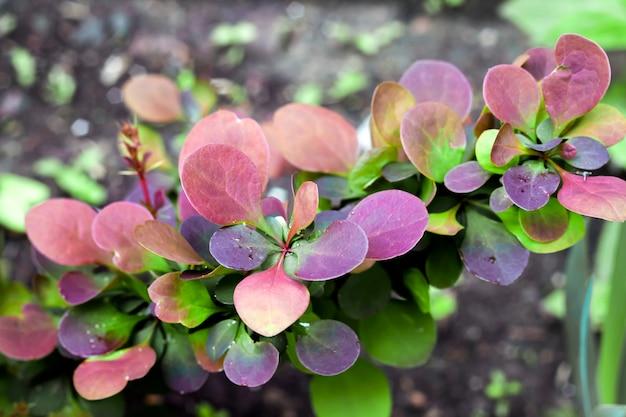 Planta jovem de berberis thunbergii atropurpurea na primavera