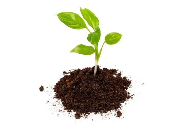Planta jovem em um monte de solo ou solo isolado em um fundo branco