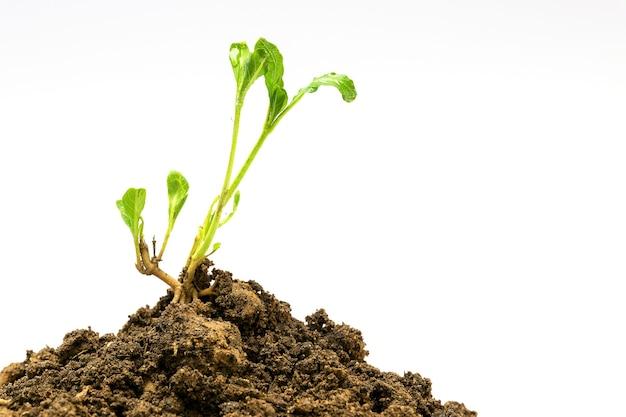 Planta jovem isolada no solo
