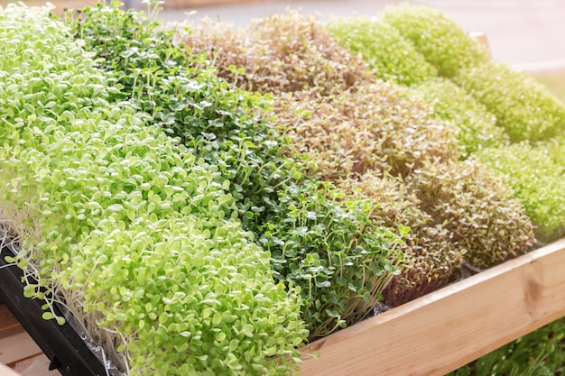 Planta jovem, ou, girassol, broto, em, berçário, bandeja