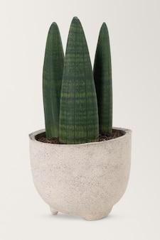 Planta lança africana em um vaso