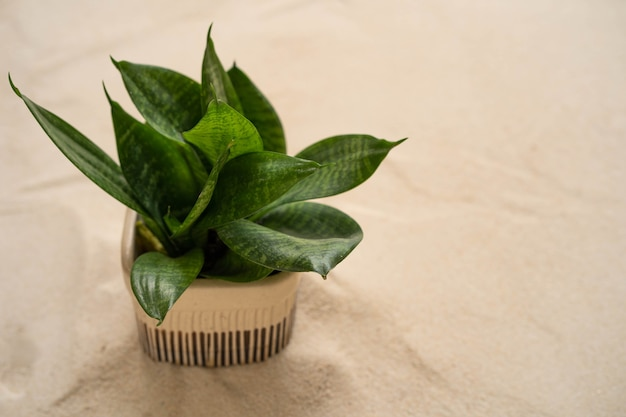 Planta laurentii em vaso de cerâmica em fundo de areia.