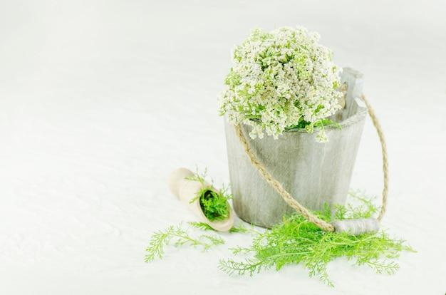 Planta medicinal do yarrow branco ou do millefolium de achillea. yarrow medicinal