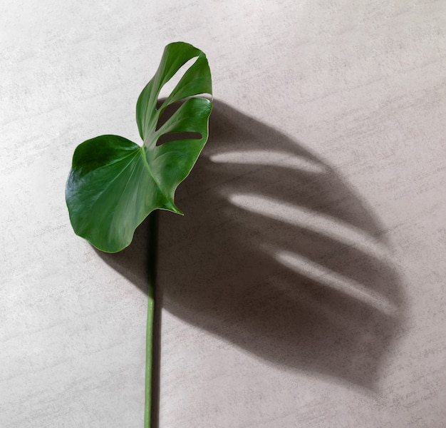 Planta monstera tropical de folha verde com sombra em um fundo cinza
