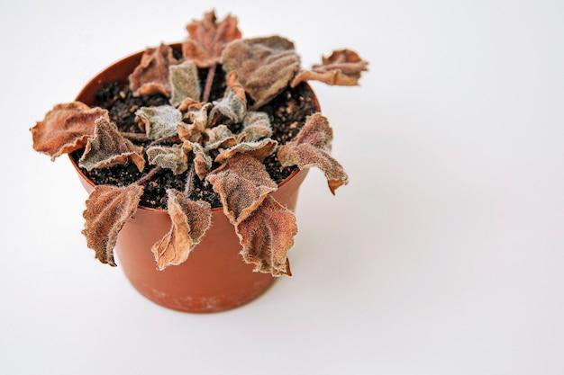 Planta morta seca em um vaso, copie o espaço