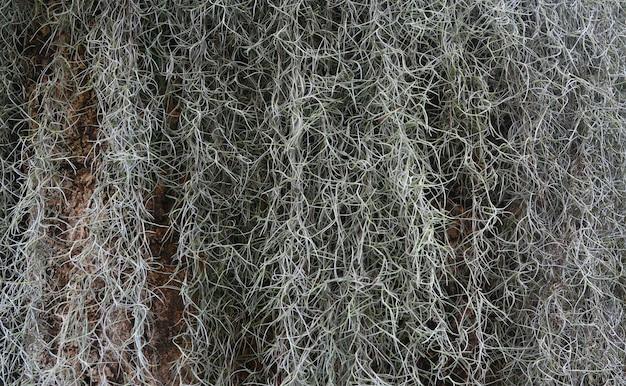 Planta, musgo espanhol