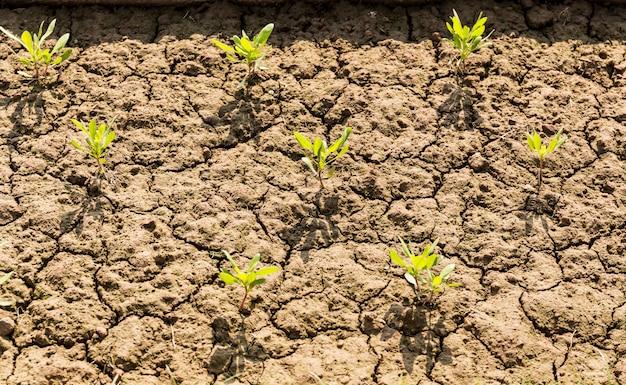 Planta nova da vida que cresce no solo árido e na terra rachada na índia.