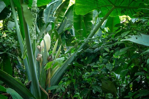 Planta orelha-de-elefante crescendo em um jardim tropical com folhas verdes grandes