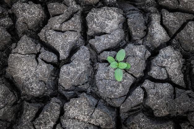 Planta pequena que cresce da lama rachada e seca.