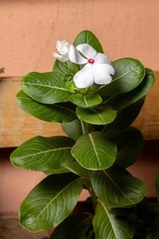 Planta pervinca de madagascar da espécie catharanthus roseus