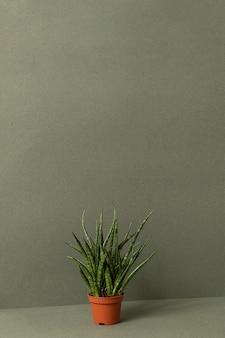 Planta sansevieria cylindrica em vaso marrom em uma superfície verde