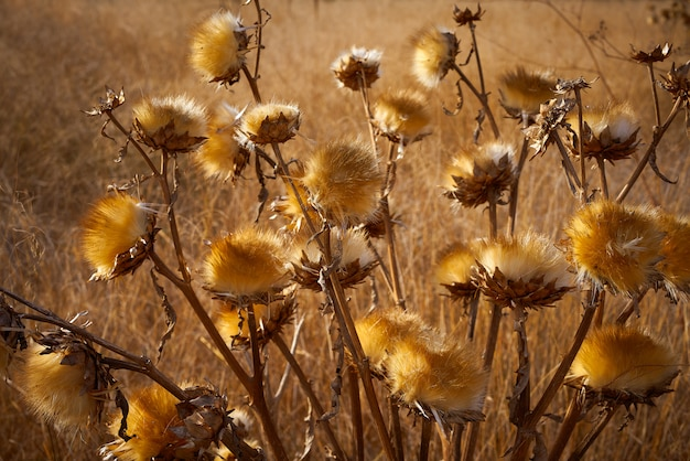 Planta seca do cardo no prado dourado