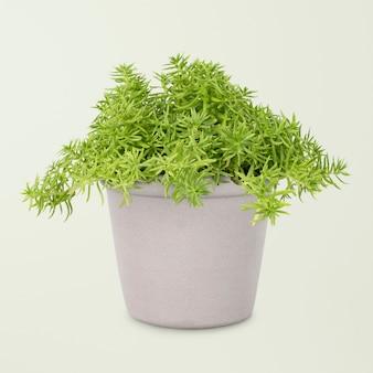 Planta sedum lineare em vaso cinza