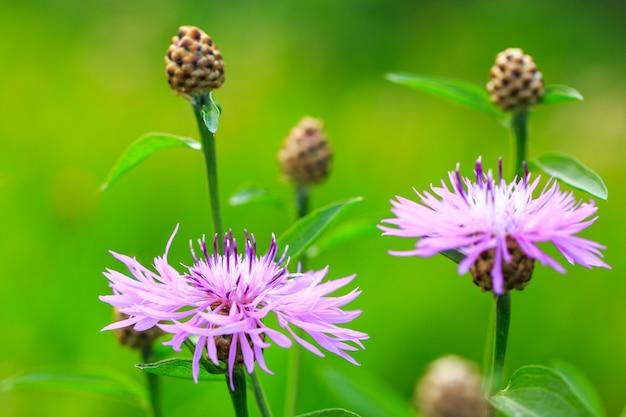 Planta selvagem com lindas flores redondas roxas centáurea marrom em fundo verde natural turva.
