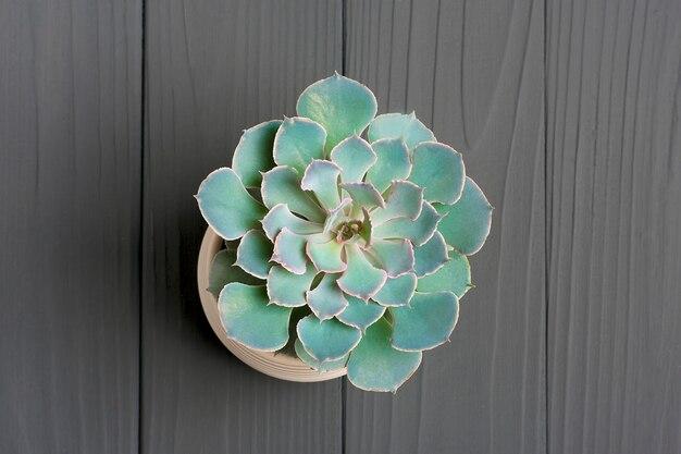 Planta suculenta. cacto verde do echeveria no potenciômetro branco na obscuridade - tabela cinzenta.