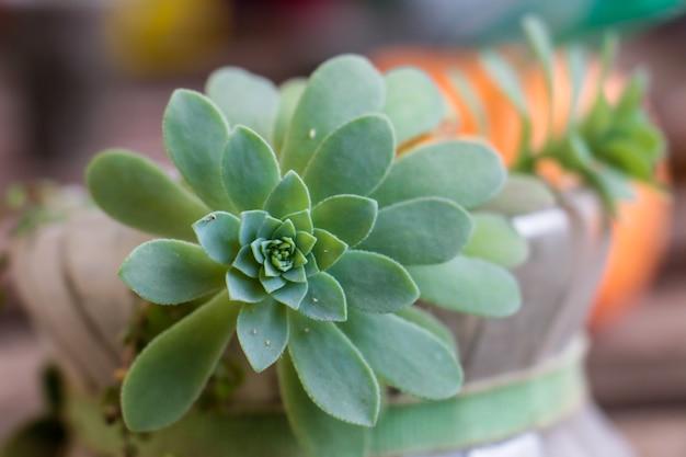 Planta suculenta catus com folhas grossas closeup