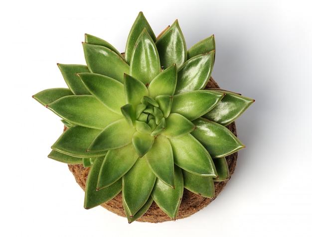 Planta suculenta em fundo branco