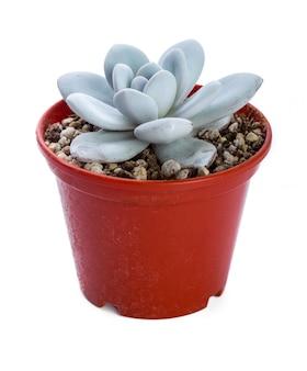 Planta suculenta em pote