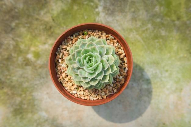 Planta suculenta em vaso para decorar no escritório em casa ou mesa de trabalho jardim