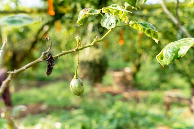 Planta terong belanda ou tamarillo com frutos verdes e folhas solanum betaceum da indonésia