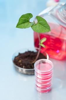 Planta transgênica em prato de plástico
